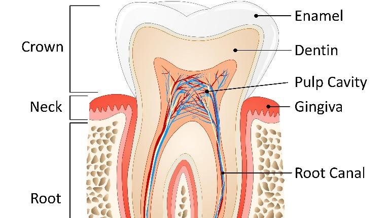 cartoon image of the internal anatomy of a tooth
